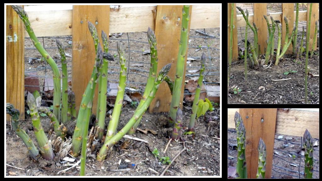 asparagus2013