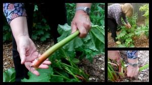 rhubarb101 2