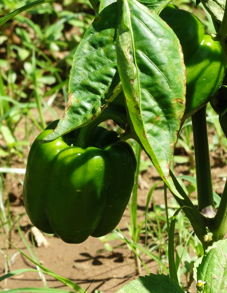 072316peppers1