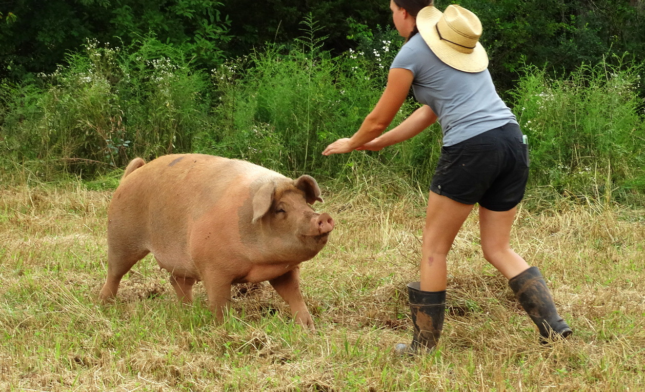Breeding Heritage Pigs In New Jersey Jessica Isbrecht At
